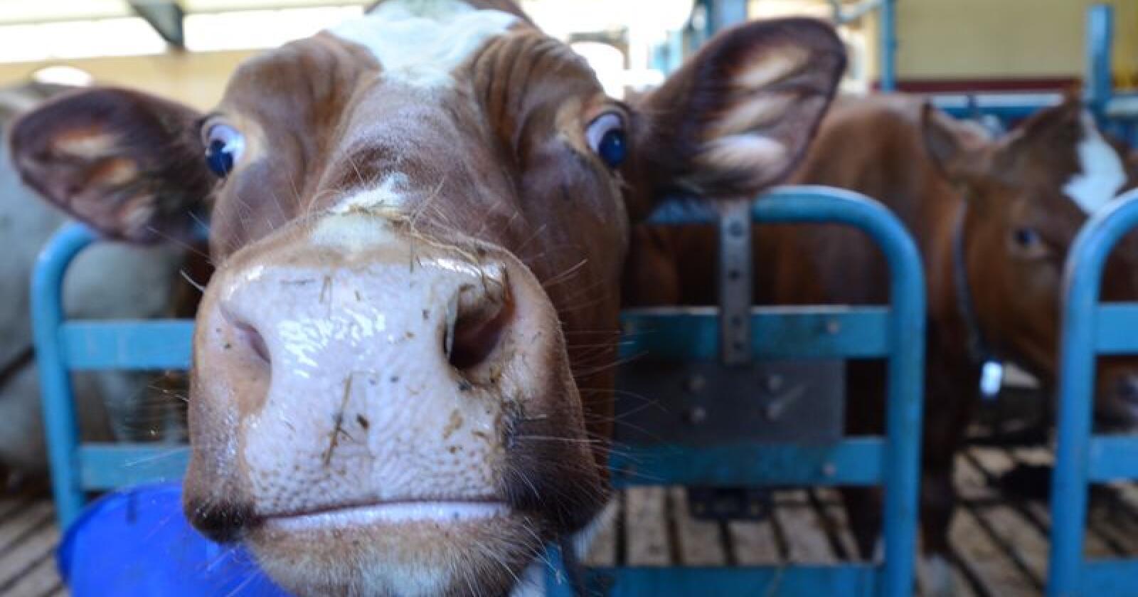 Omsetningsavgiften på ku- og geitemelk økes til 22 øre, som et ledd i nedskaleringen av produksjonen. Foto: Liv Jorunn Denstadli Sagmo