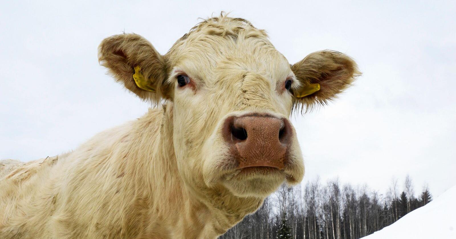 Tyr er svært opptatt av beite og hadde gjerne sett at økningen i antall dyr på beite var større, skriver Tyr-leder Erling Gresseth. Foto: Mariann Tvete