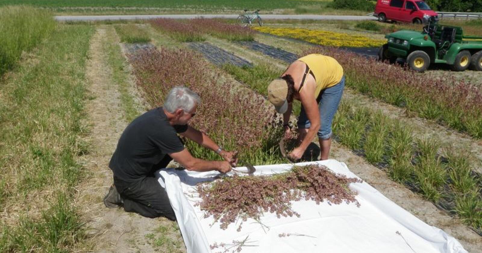 Det er arbeidskrevende å oppformere frø fra ville blomster. De fleste artene blir håndhøsta i flere omganger Foto: Trygve S. Aamlid, Nibio.