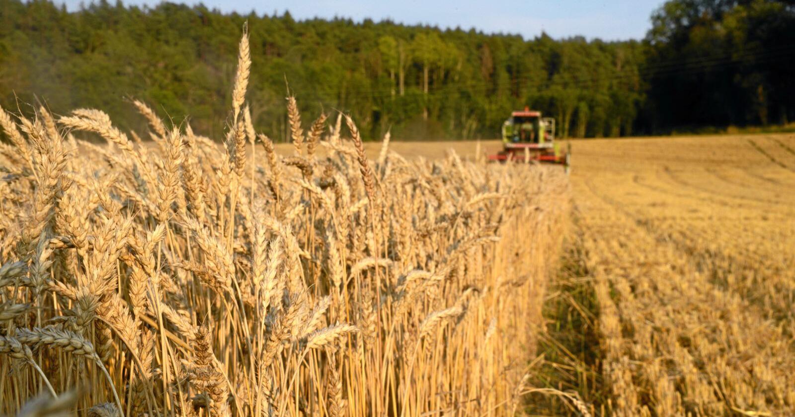 Tresking av korn. Foto: Mariann Tvete