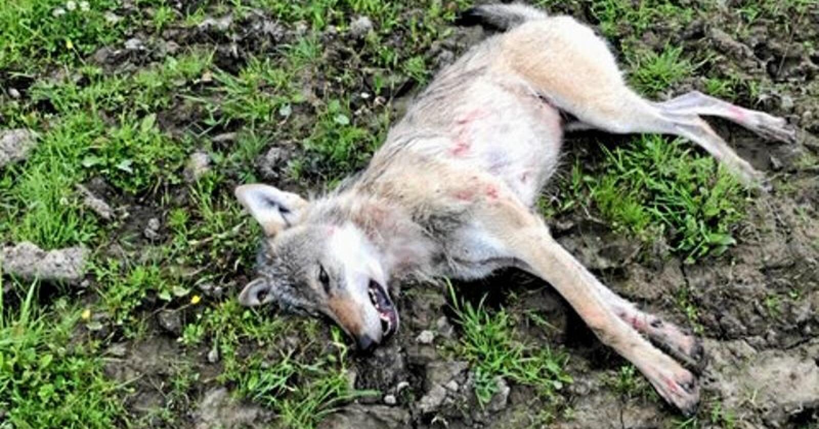 Ulven som ble skutt av en bonde i Sør-Odal tirsdag. Foto: Politiet i Innlandet.