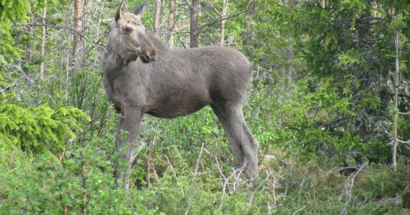 CWD hos elg i Norden har vist atypiske funn sammenliknet med villreinen fra Nordfjella og hjortedyr i Nord-Amerika. Samtlige elg har vært gamle kyr, og fordelingen av smittestoff i dyrekroppen er ulik fra villreinen. Elgen på bildet er ikke smittet av CWD. (Foto: Barbara Zimmermann)