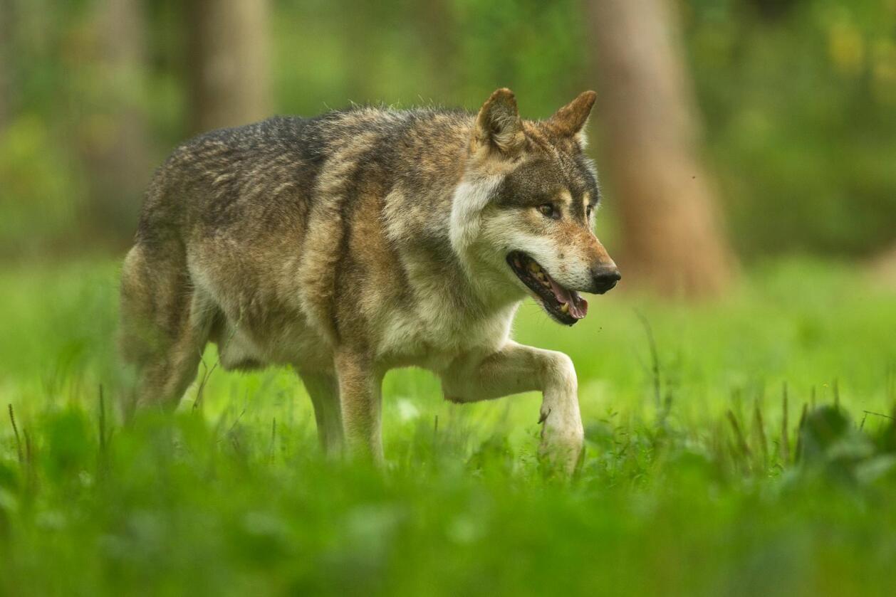 Ikke økt jakt: Det er tre ulveflokker for mye i Norge, uansett tellemåte. Foto: GrottesdeHan (CC BY-SA 3.0)
