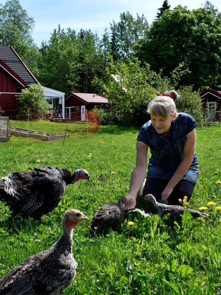 SELVFORSYNING: Hos Liza Franke og Lennert Hug går kalkuner av rasen bronsekalkun fritt omkring. De bidrar med kjøtt og gjødsel, og  holder gresset nede. Foto: Kjersti Busterud