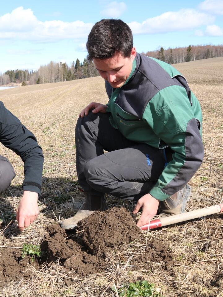 FANGVEKSTER: NLR-rådgiver Petter Fredriksen Bjørge graver i jorda der Ole Edvard Løken hadde fangvekster i fjor høst.