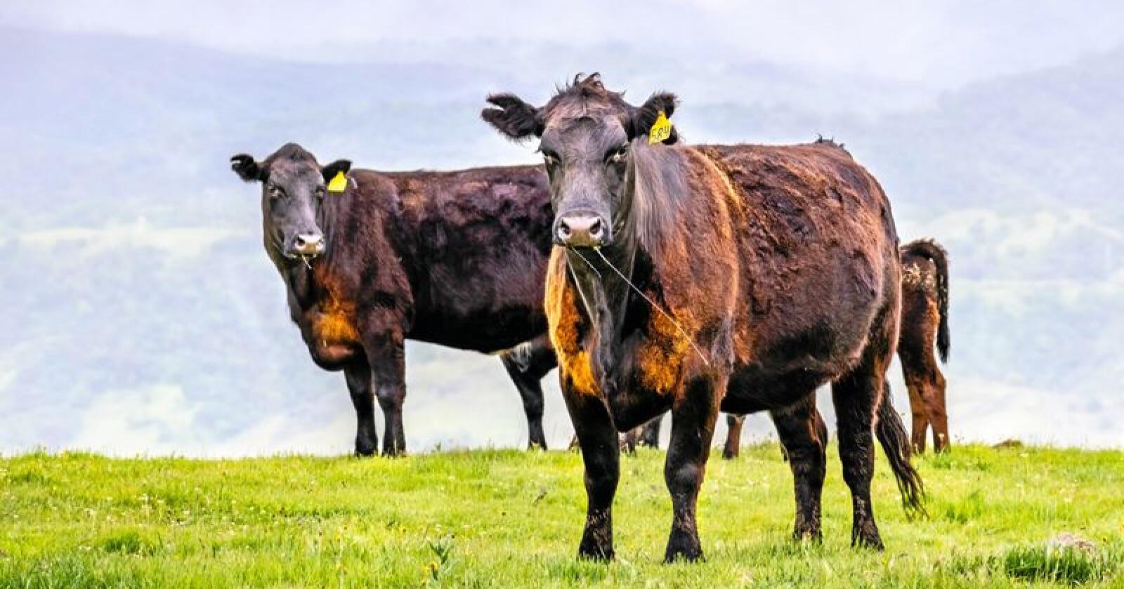 Med og uten horn: Horn på storfe kan genredigeres vekk. Men hva blir konsekvensen? Foto / Mostphotos