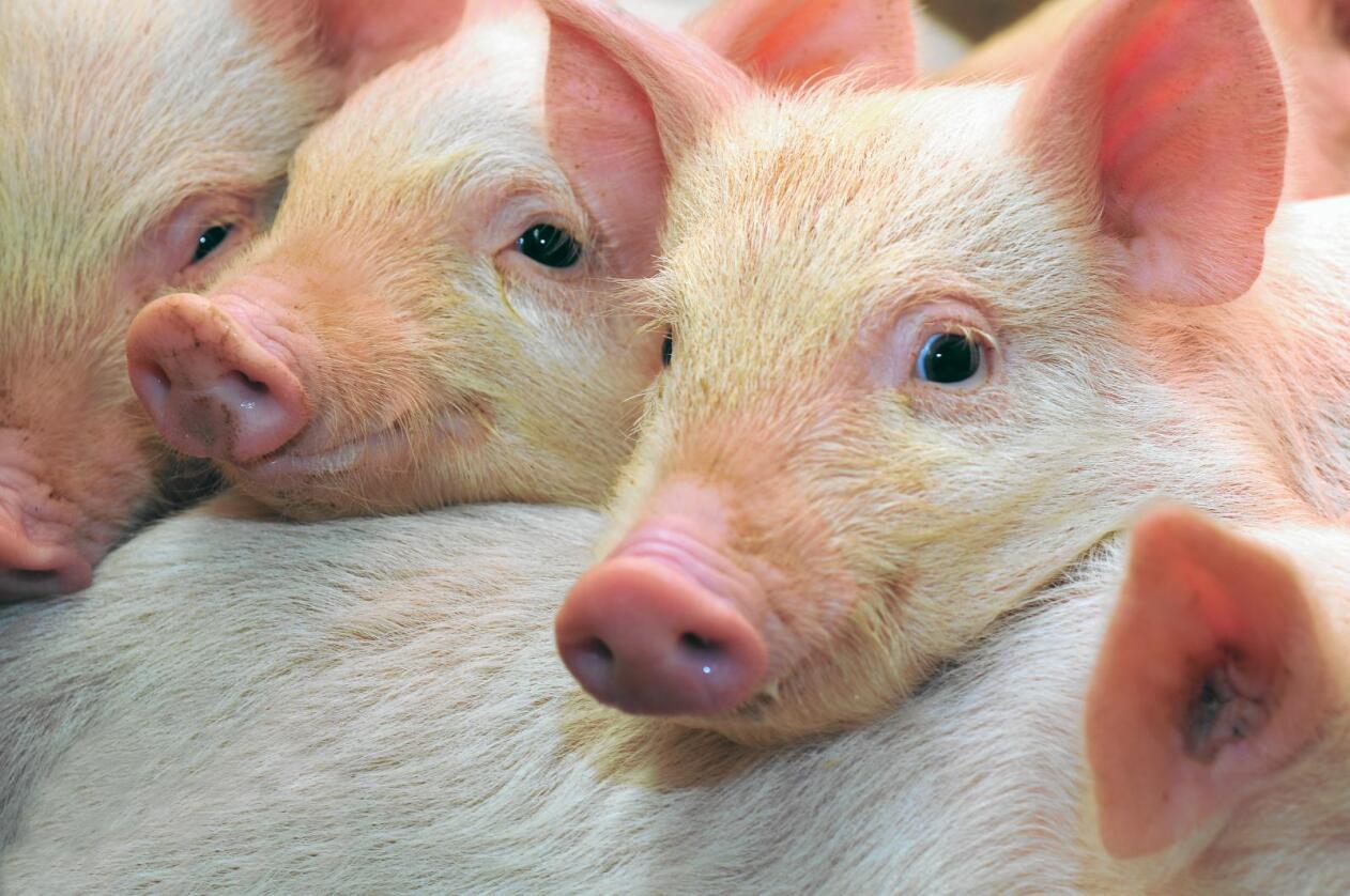 Sikta: Ein person er sikta etter at 100 griser døde på ein gard i Rogaland. Foto: Colourbox