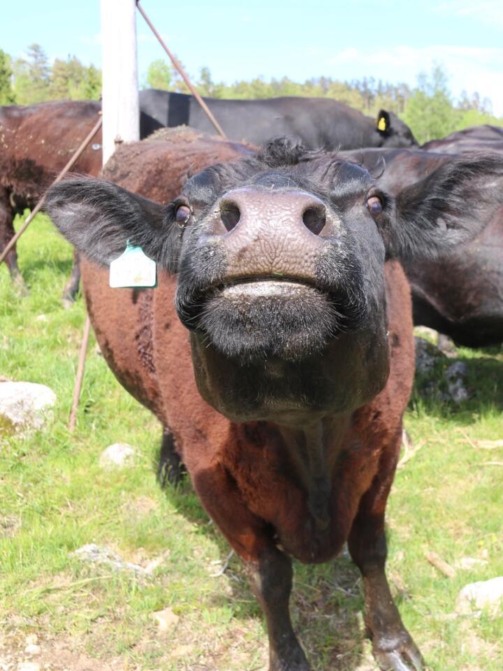 BUREISING: Flere steder i indre deler av Agder har det foregått ny bureising, der angus er en sentral del i å blåse nytt liv i nedlagte gårdsbruk.