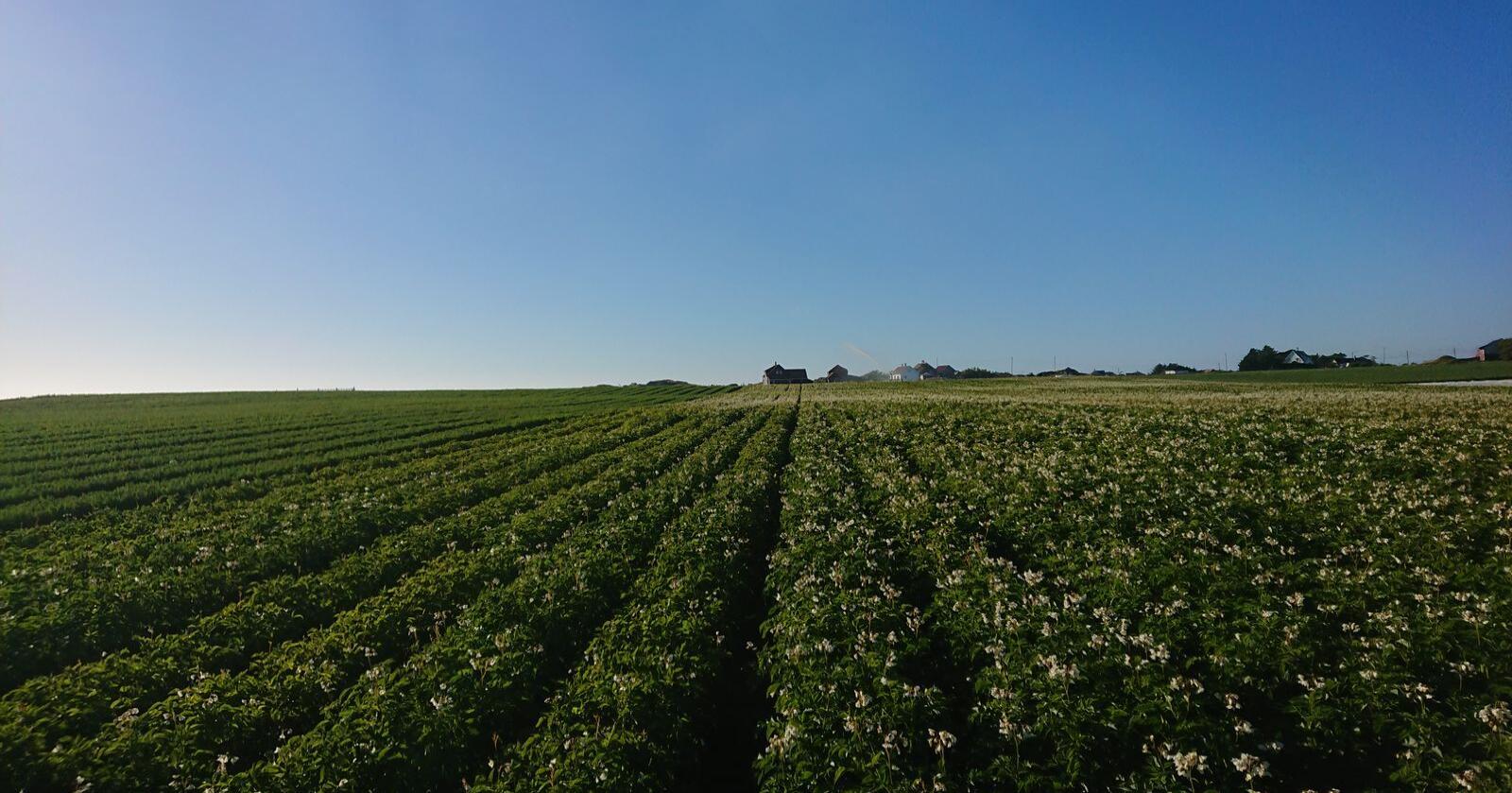 Potet er en effektiv måte å produsere mye mat på et gitt areal. (Foto: Bethi Dirdal Jåtun)