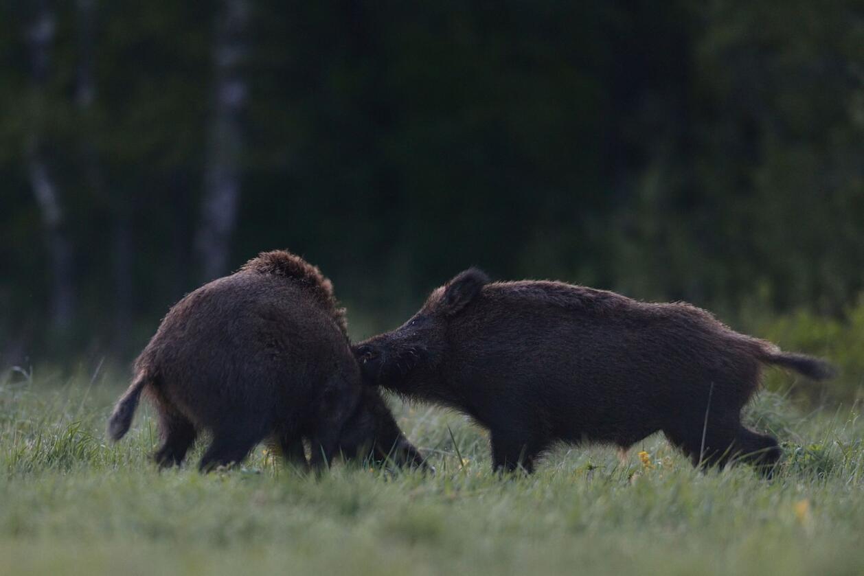 Villsvin: Har regjeringa oppdatert oversikt over hvor mange villsvin det finnes i Norge nå?     Illustrasjonsfoto: Erik Mandre/Mostphotos