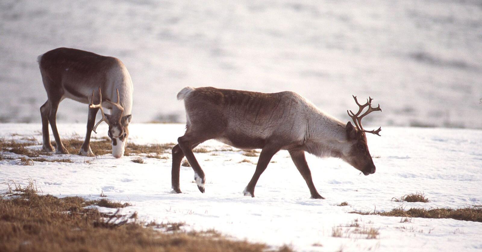 Fleire reinsdyrkalvar døyr av sjukdom på Hardangervidda. Det er menneskeleg aktivitet som er årsaka, ifølgje ny rapport. Arkivfoto: Helge Hansen / NTB scanpix/ NPK