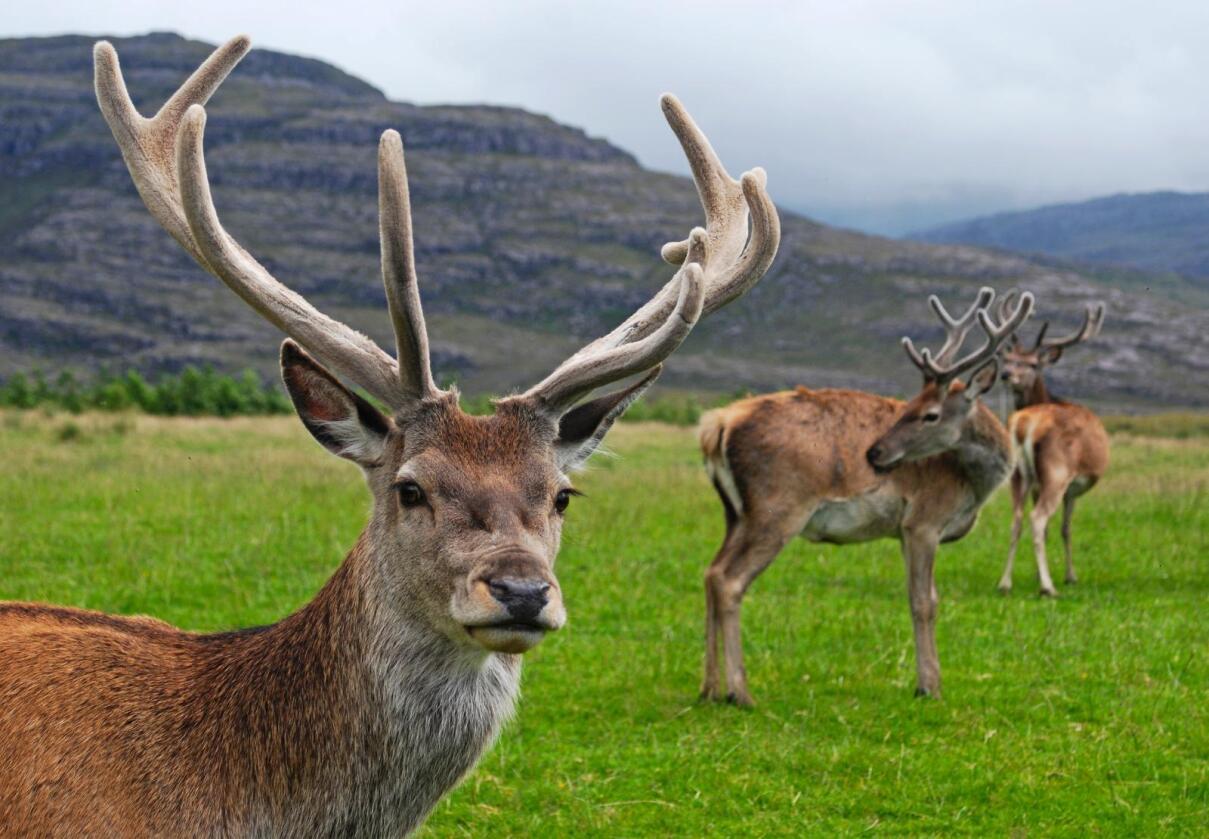 Foreløpig er skrantesyke kun funnet på elg og rein, ikke på hjort. Foto: Mehmet Karatay/Wikimedia Commons