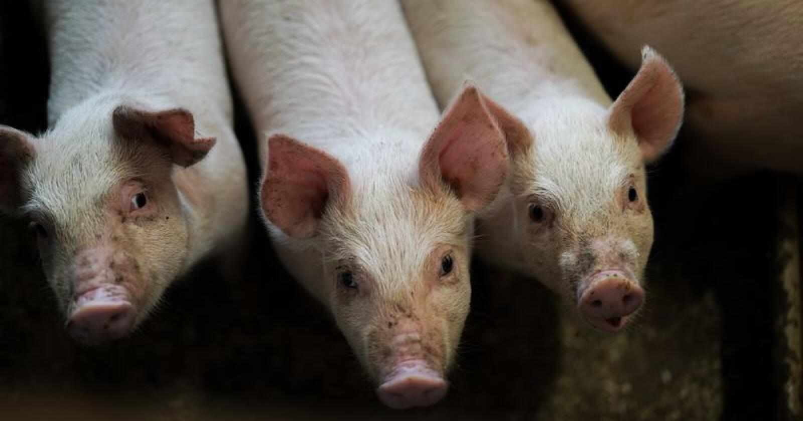I juni sendte NRK dokumentaren «Griseindustriens hemmeligheter» som avdekket omfattende lov- og regelbrudd i grisehus og slakterier. Grisene på dette bildet har det bra. Foto: Bnejamin Hernes Vogl