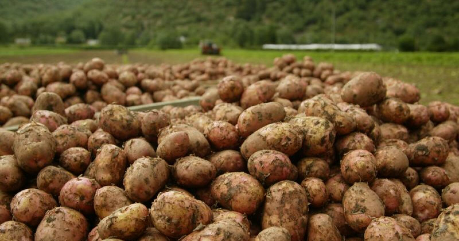 Attraktiv råvare: Det er stor stas å være først ute med å høste tidligpoteter. Arkivfoto: Karl Erik Berge