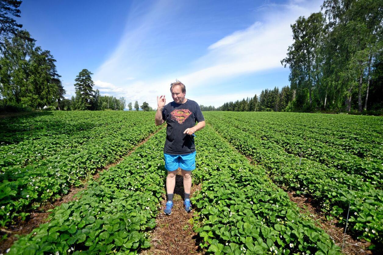 Tilskotshopp: Sp, Ap og SV er delt i synet på om tilskotshoppet til bønder som driv i svært stor skala skal reverserast. Ein av bøndene som har fått desidert størst vekst i tilskota siste åra er jordbærbonde Per Isingrud, som fekk ein vekst i tilskota på over 2,8 millionar kroner frå 2014 til 2016. Foto: Siri Juell Rasmussen