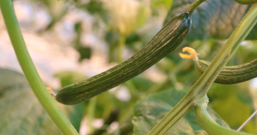 Stykkpris: Hver agurkplante produserer mellom 4,5 og fem agurker per plante per uke. Agurken selges til stykkpris og skal veie mellom 300 og 400 gram. De får ikke bedre betalt for tyngre agurker.