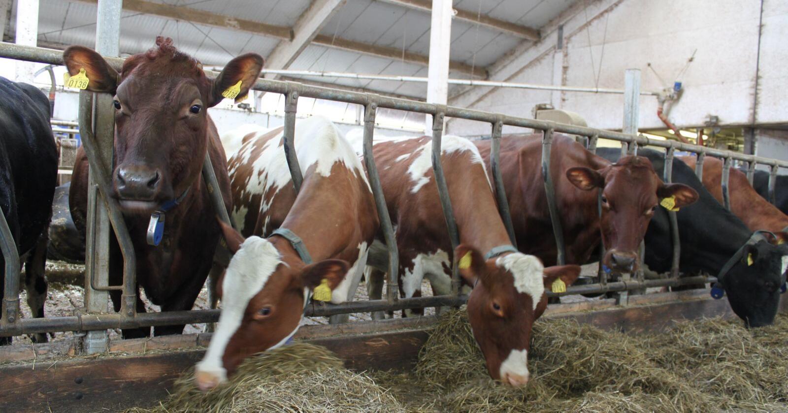 SAMARBEID: Samkjøring av Tine og Norturas rådgiving skal sikre bedre kunnskapsformidling om kjøttproduksjon til melkebønder. Arkivfoto: Norsk Landbruk