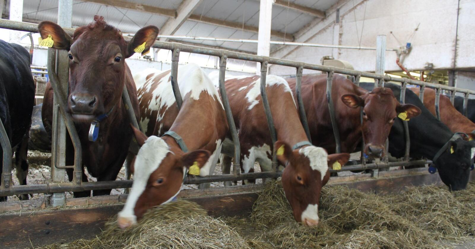 Grovfôr: Smittestoffer ble i helt minimal grad introdusert i norske husdyrbesetninger som følge av den rekordstore grovfôrimporten til Norge i 2018. (Arkivfoto)