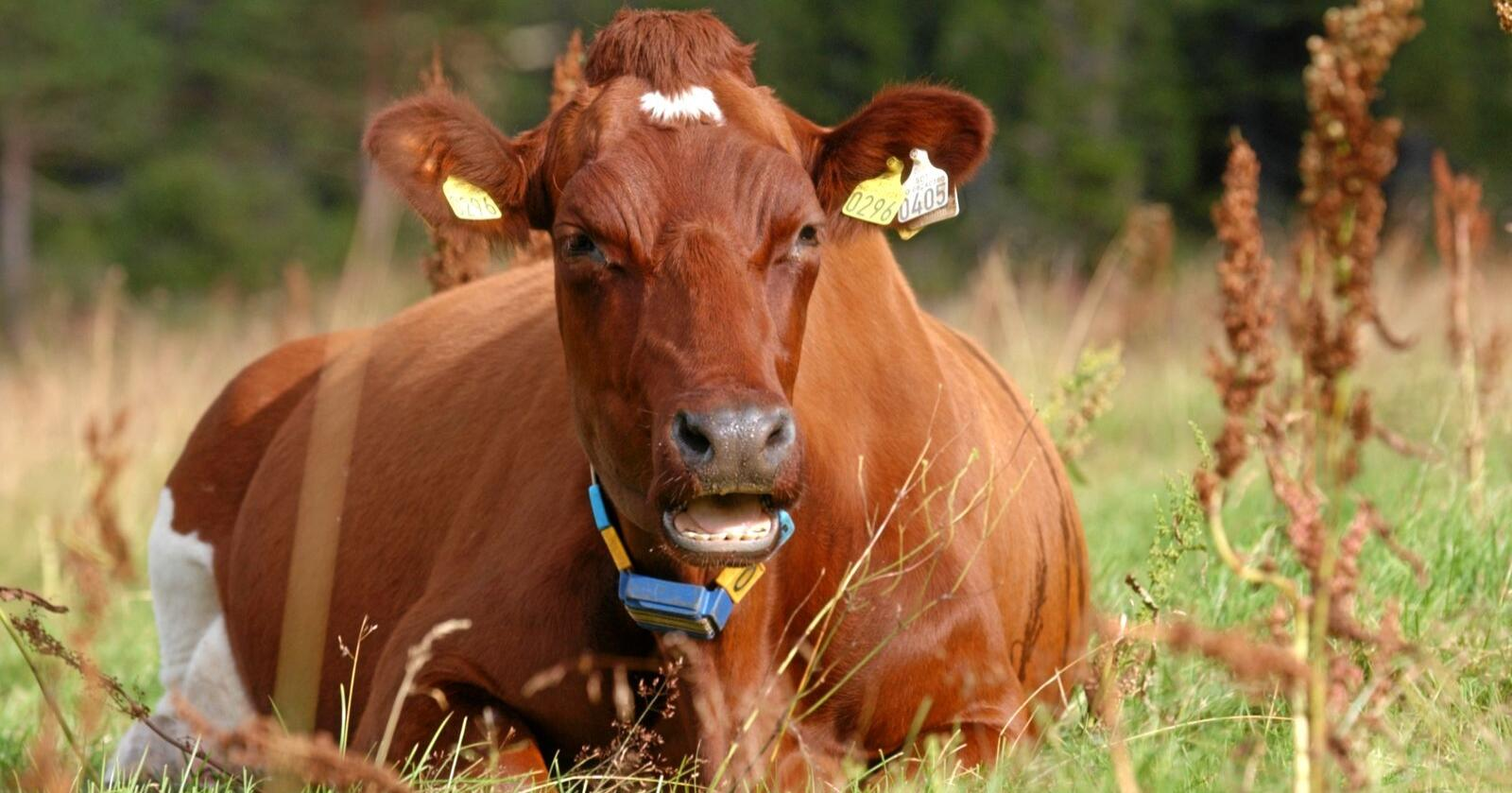 På beite: Vi kan utnytte norske ressurser mer hvis melkekuer fôres på gras og beite og ikke på importert soya og korn. Foto: Mariann Tvete