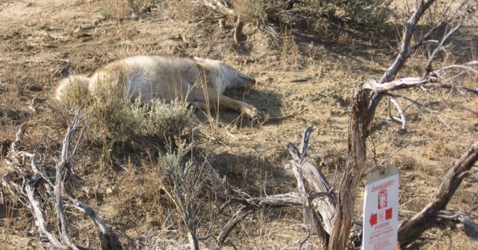Denne ulven døde som følge av en M-44-felle. Foto: Center for biological diversity