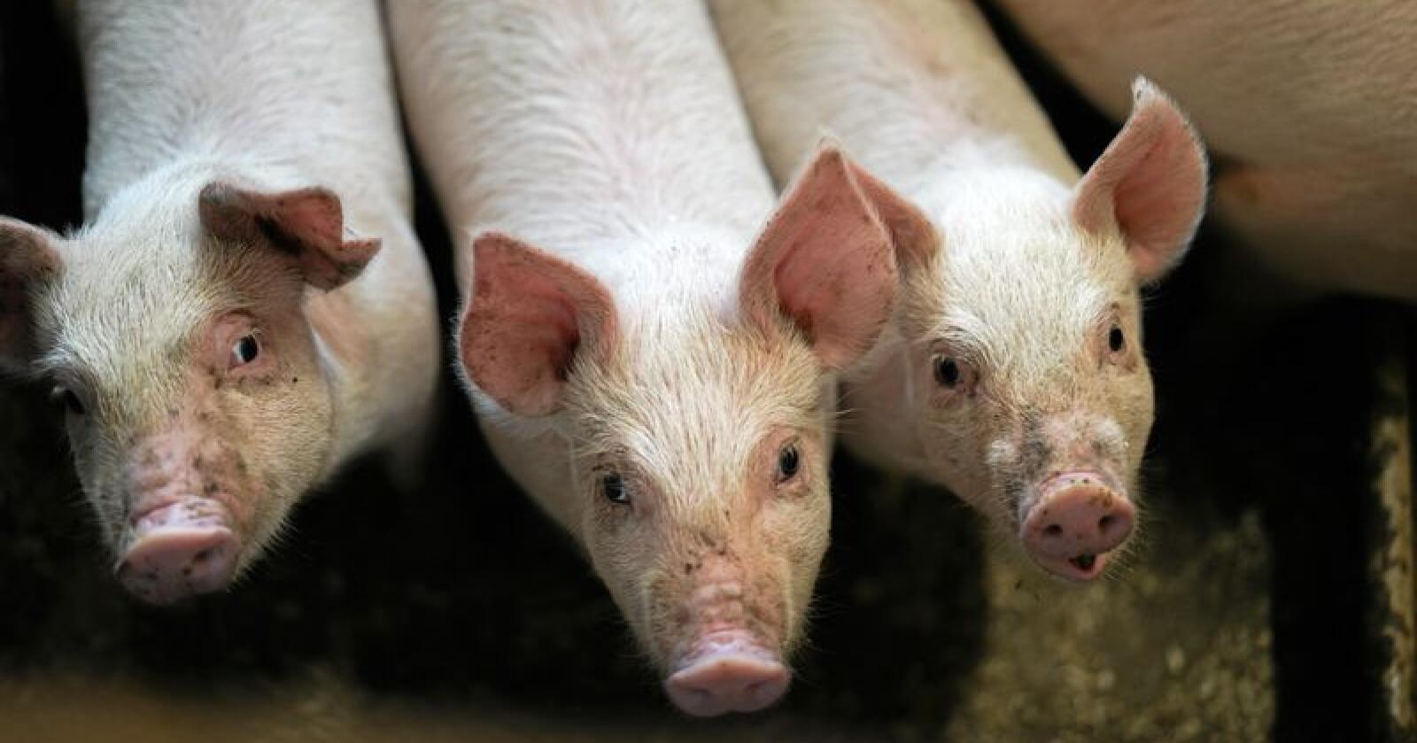 Bulgaria melder om flere og flere utbrudd av afrikansk svinepest i landet. Illustrasjonsfoto: Benjamin Hernes Vogl