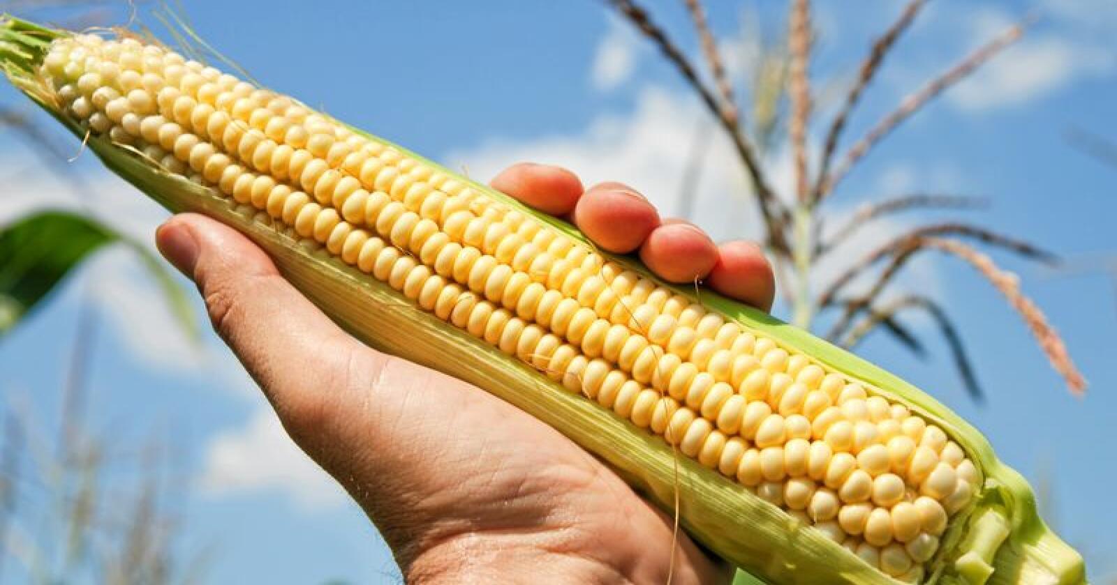 En stor andel av den økologiske maisen og soyaen solgt i USA over flere år var faktisk ikke økologisk. Foto: Colourbox