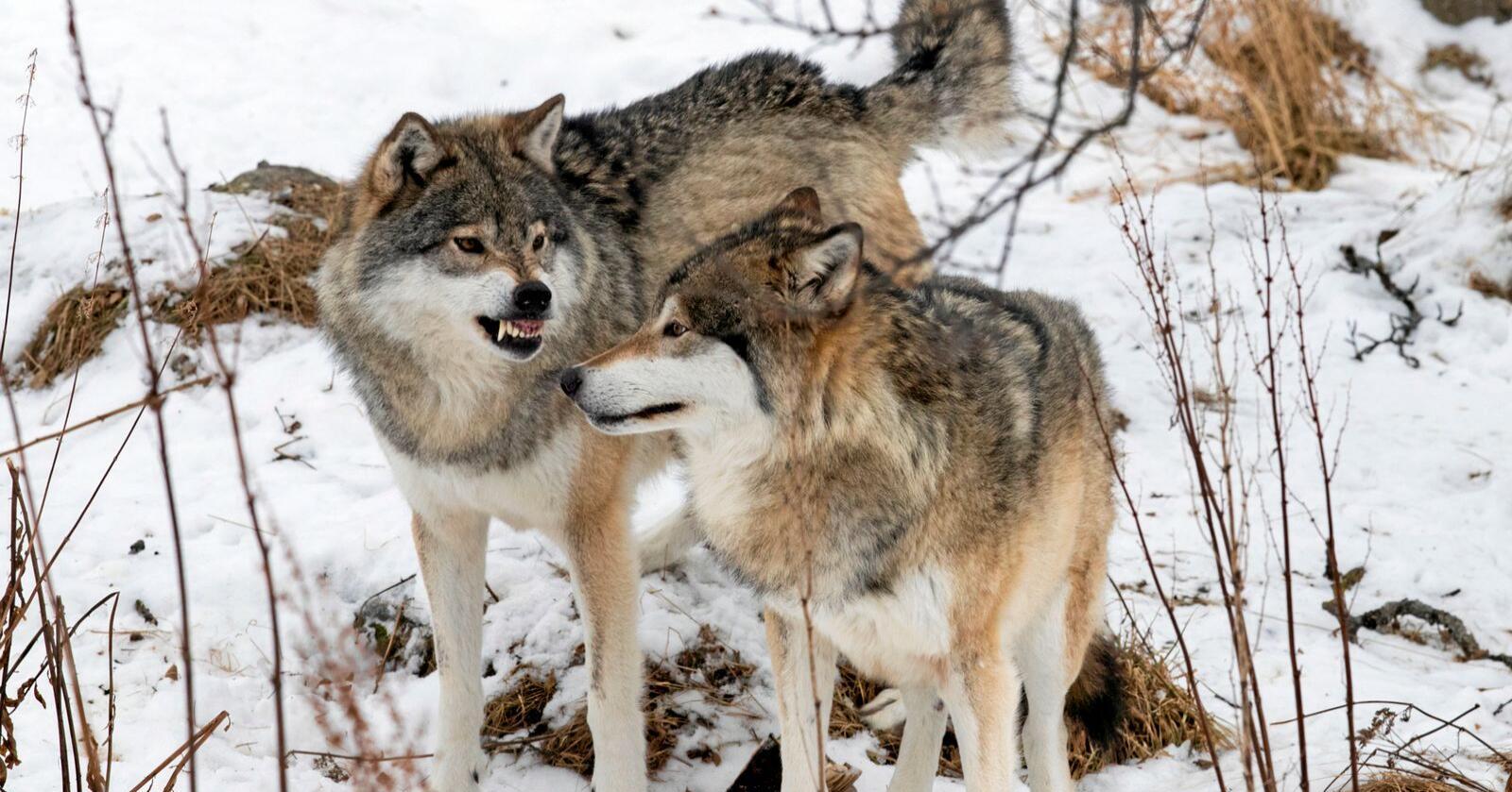 Regjeringen ønsker at rovviltklagenemnda blant annet skal få behandle klager på jaktkvoter på ulv. Foto: Heiko Junge / NTB scanpix