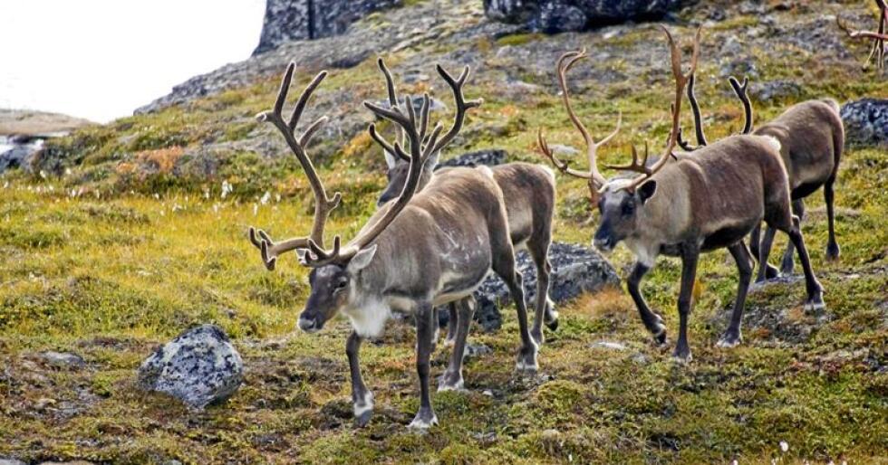Norges største: Hardangervidda villreinområde er Norges største villreinområde med et samlet areal på 8130 km2. Vinterbestanden av villrein her ligger i dag på rundt 7000 dyr. Ifølge driftsplanen er målet på sikt å bygge opp villreinstammen på Hardangervidda til 12000 dyr. Foto: Villrein.no