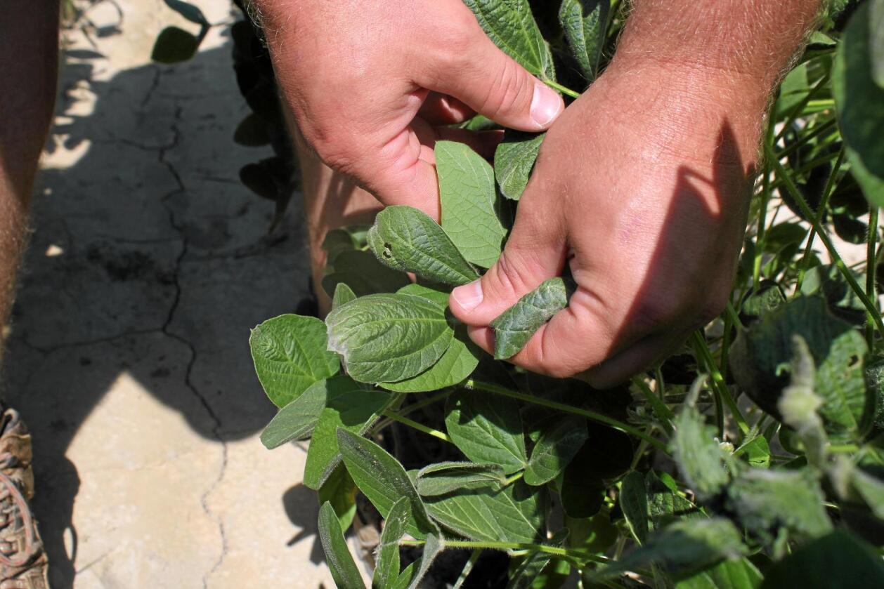 Ikke ugress: Skadde soyaplanteblader i Øst-Arkansas i sommer. Skadene skal ifølge gårdseier Reed Storey skyldes dicamba-forurensing. Foto: Andrew DeMillo / AP / NTB scanpix