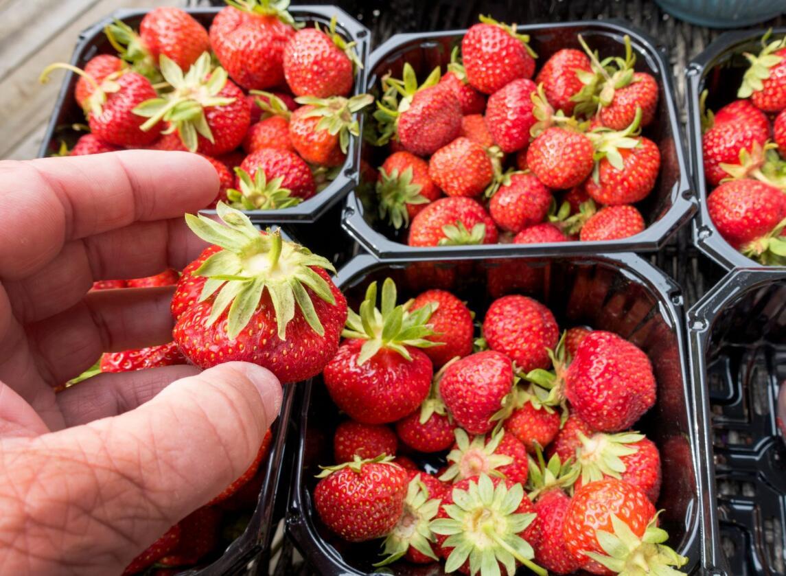 Flere jordbærselgere jobber under dårlige forhold, ifølge LOs sommerpatrulje. Foto: Gorm Kallestad / NTB