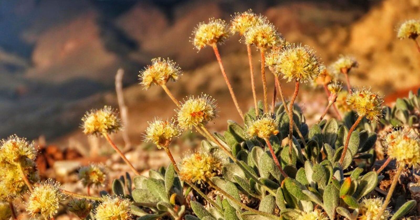Denne villblomsten er kun funnet i Silver Peak Range i det vestlige Nevada. Den er oppført på listen over truede arter i USA. Illustrasjonsfoto: AP / NTB