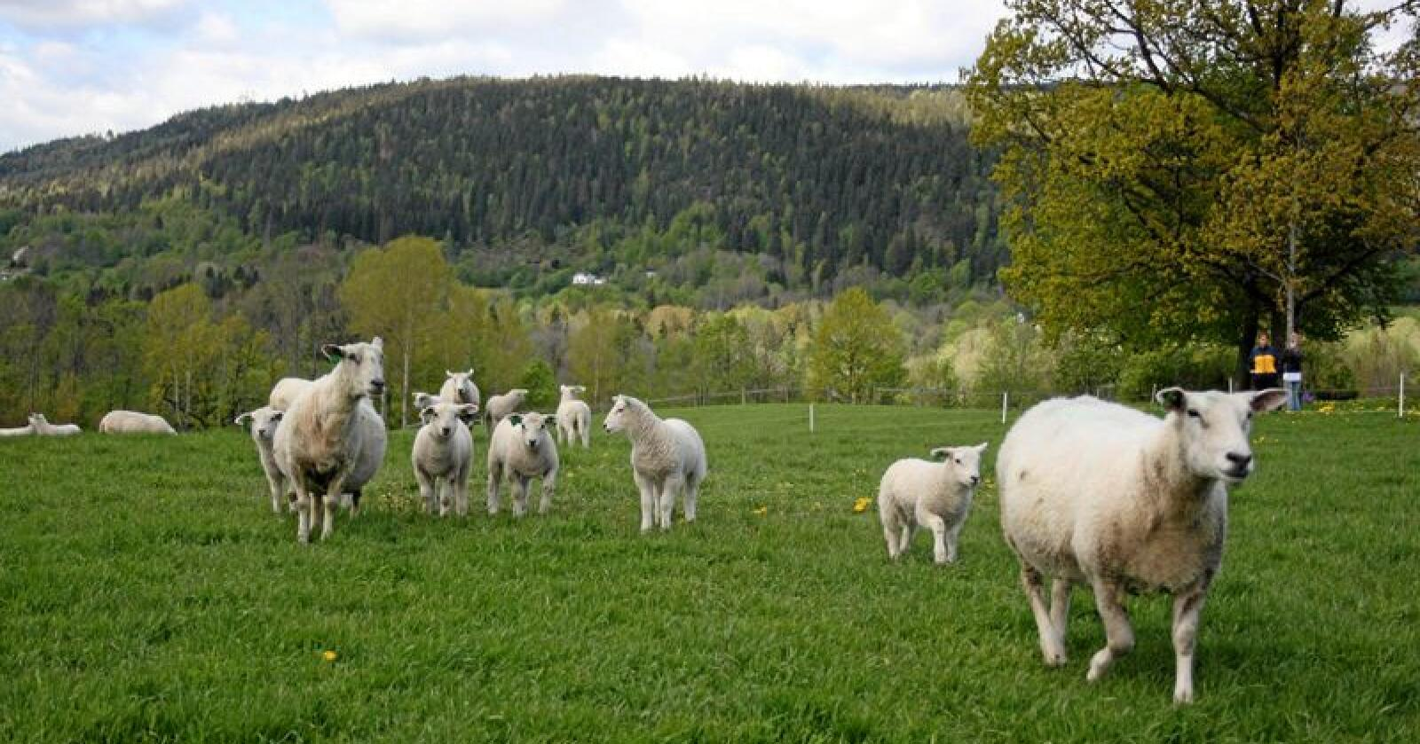 Ny utdanning: Nome videregående skole, avdeling Søve i Telemark satser på en ny utdanning i sauehold og lokal foredling. Foto: Norsk Sau og geit