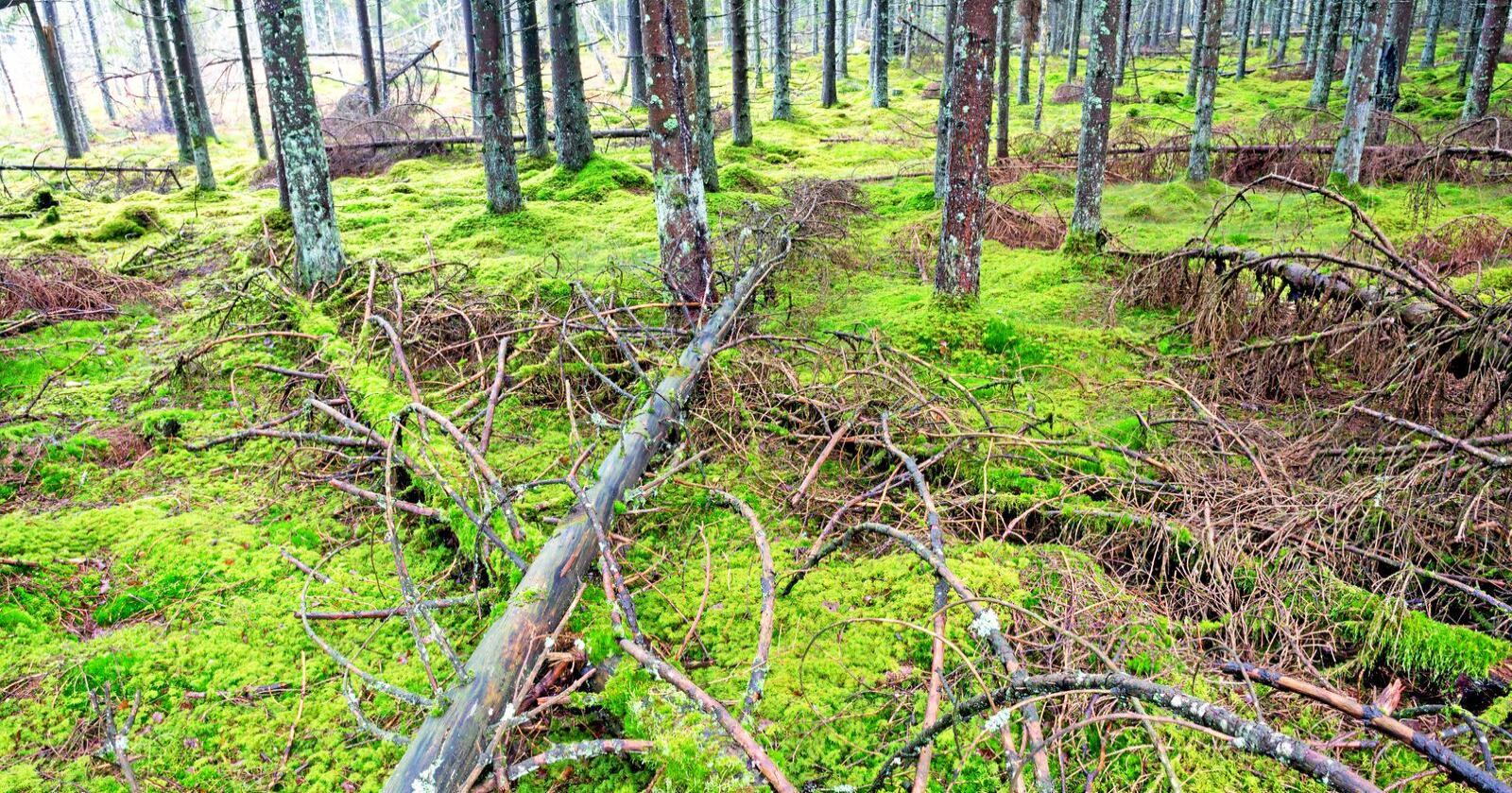 Artmangfoldet truet: Mye av den døde veden blir i dag fraktet bort og utnyttet blant annet til biodrivstoff. Dette truer artsmangfoldet av blant annet insekter og sopp i skogen. Foto: Mostphotos