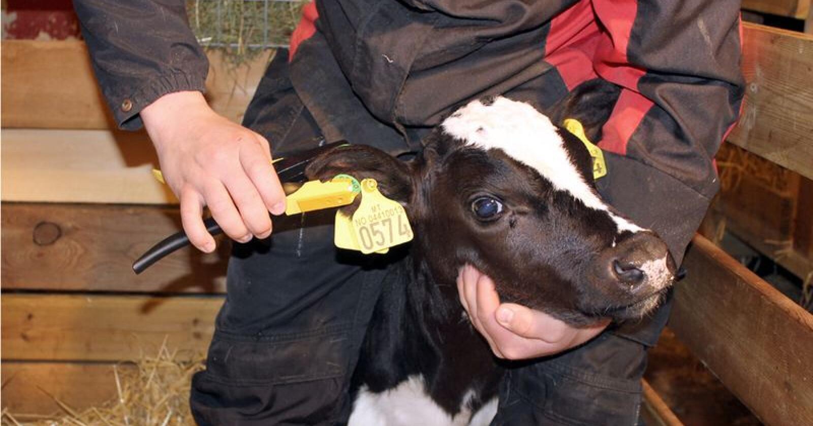 GS-merket settes i øret samtidig som det tas ut en vevsprøve fra øret Foto: OS ID