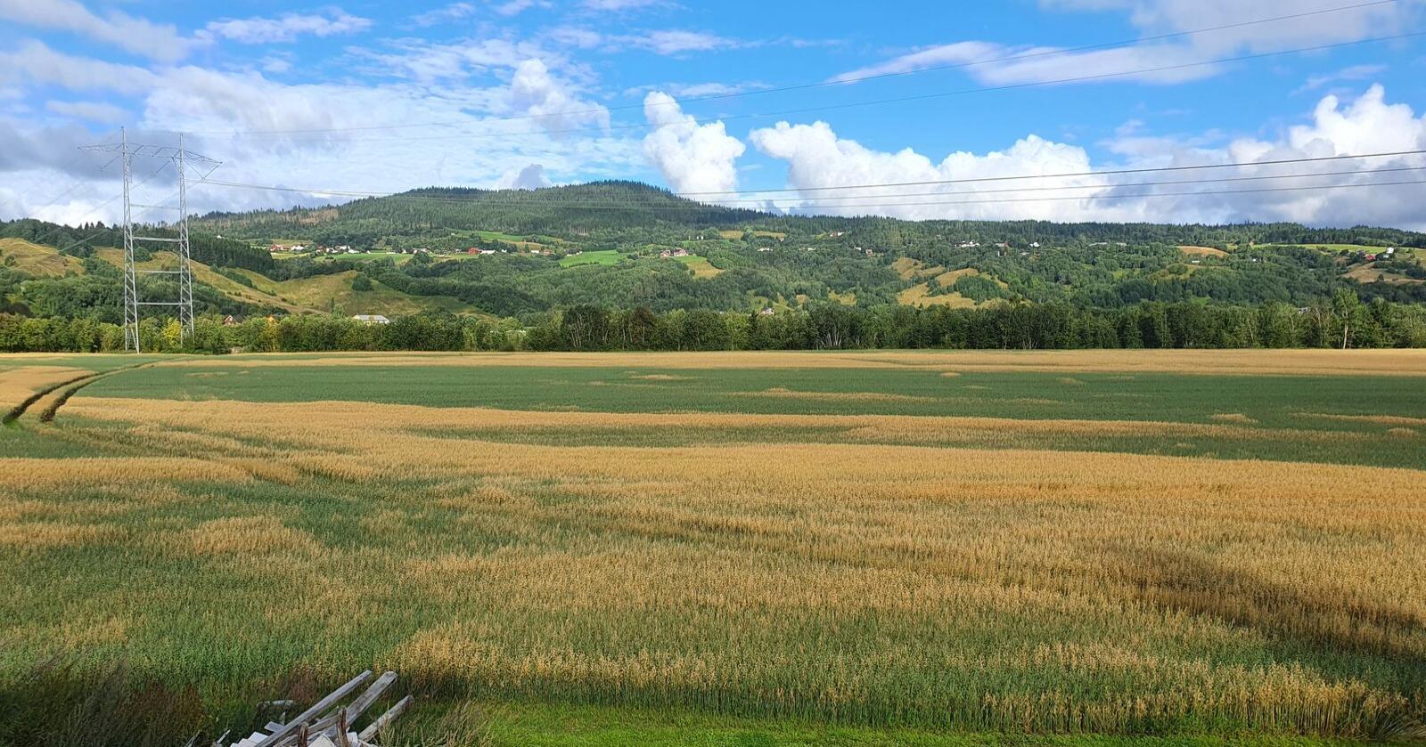 Etterrenning på åkrene i trøndelag skaper problemer for kornprodusenter. Foto: Ola Eikli