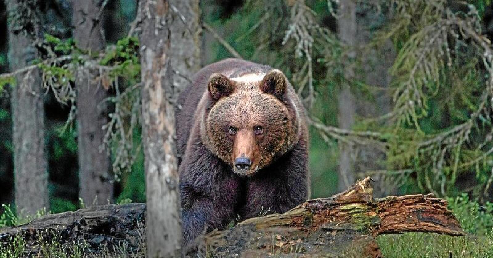 Kjønnsfordelingen mellom bjørner i Norge jevner seg ut, ifølge nye tall fra Rovdata. Foto: Per Harald Olsen (CC BY 2.0)
