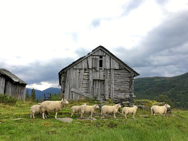 Norsk kvit sau på beite ved Stuaset i Voss kommune. Foto: Kjersti Kildahl