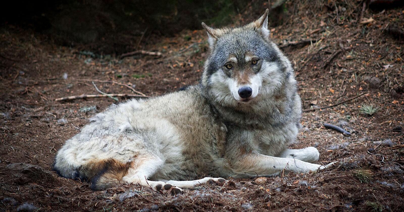 Samtidig som jegerne skal jakta på elg, bør det gis mulighet til å felle en ulv i området Stange og Nord-Odal, samt de deler av Sør-Odal, Eidsvold og Nes, mener allmenningene. Illustrasjonsfoto: Mostphotos