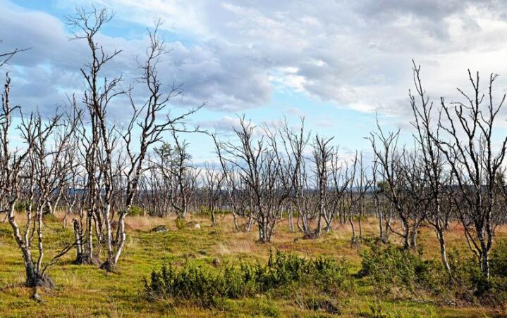 I store områder rundt Varangerfjorden i Øst-Finnmark er bjørkeskogen død som resultat av klimaendringer. Foto: Jako Iglhaut