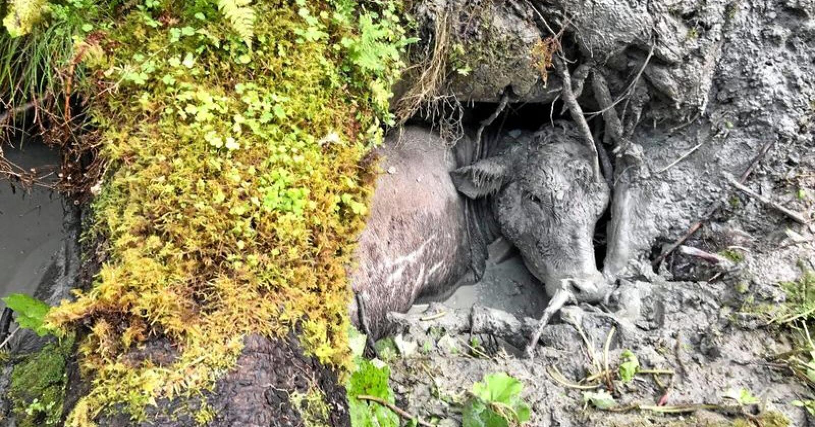 Da kua Lotte-Lise til slutt ble funnet hadde den sittet fast under treet i minst fem dager. Foto: Privat