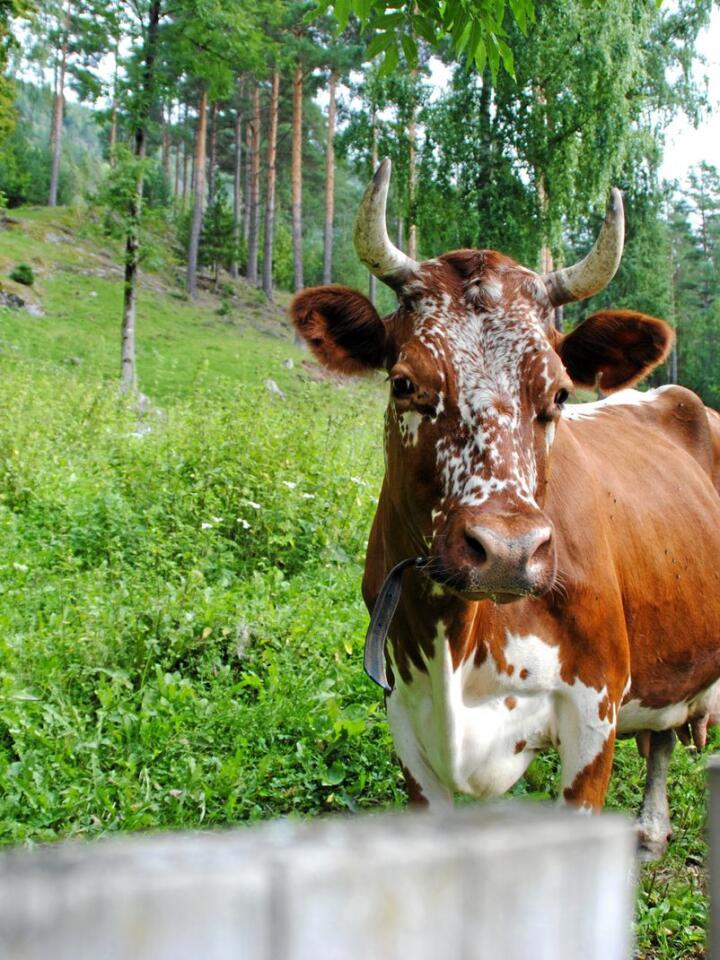 Telemarkskua er sjølve symbolet på Dyrsku'n, og det var faktisk ikkje før i 1947 at det vart opna for andre storfe-raser enn Telemarkskua. Foto: Lars Bilit Hagen
