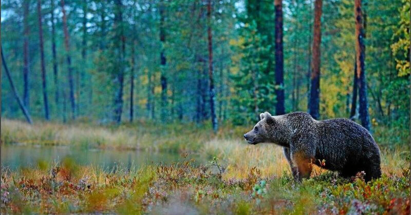 Bjørn: I de verst rammede besetningene er en tredel av dyra borte, eller dokumentert tatt av bjørn, skriver Kristoffer Moan. Foto: Ondrej Prosicky / Mostphotos
