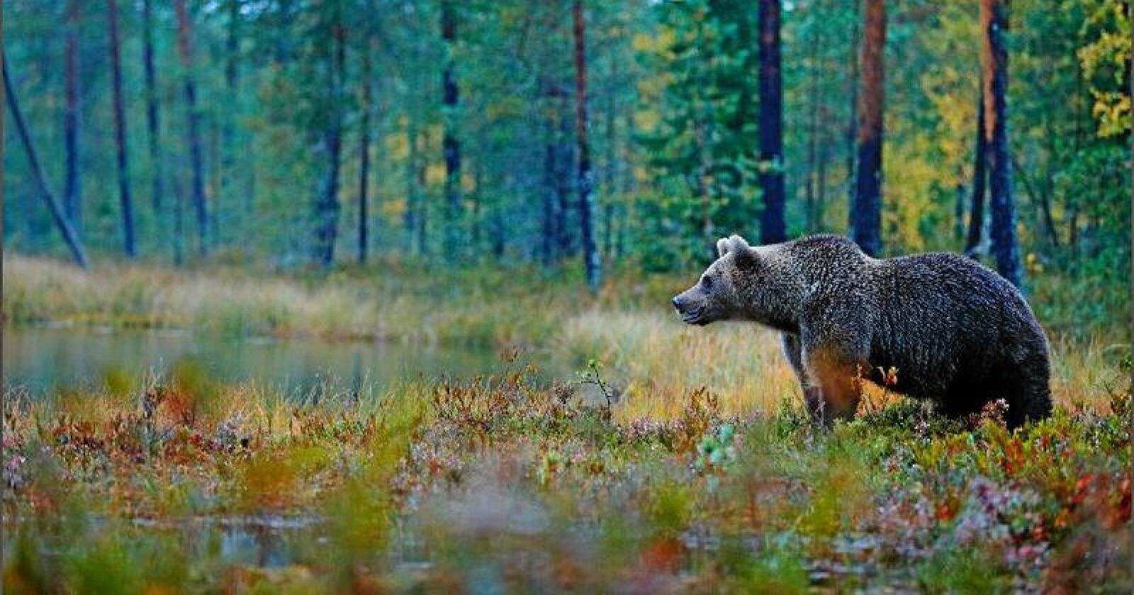 Norges Bondelag ber regjeringen skjære gjennom og godkjenne jakt på en bjørn i Nordland. Foto: Ondrej Prosicky/Mostphotos