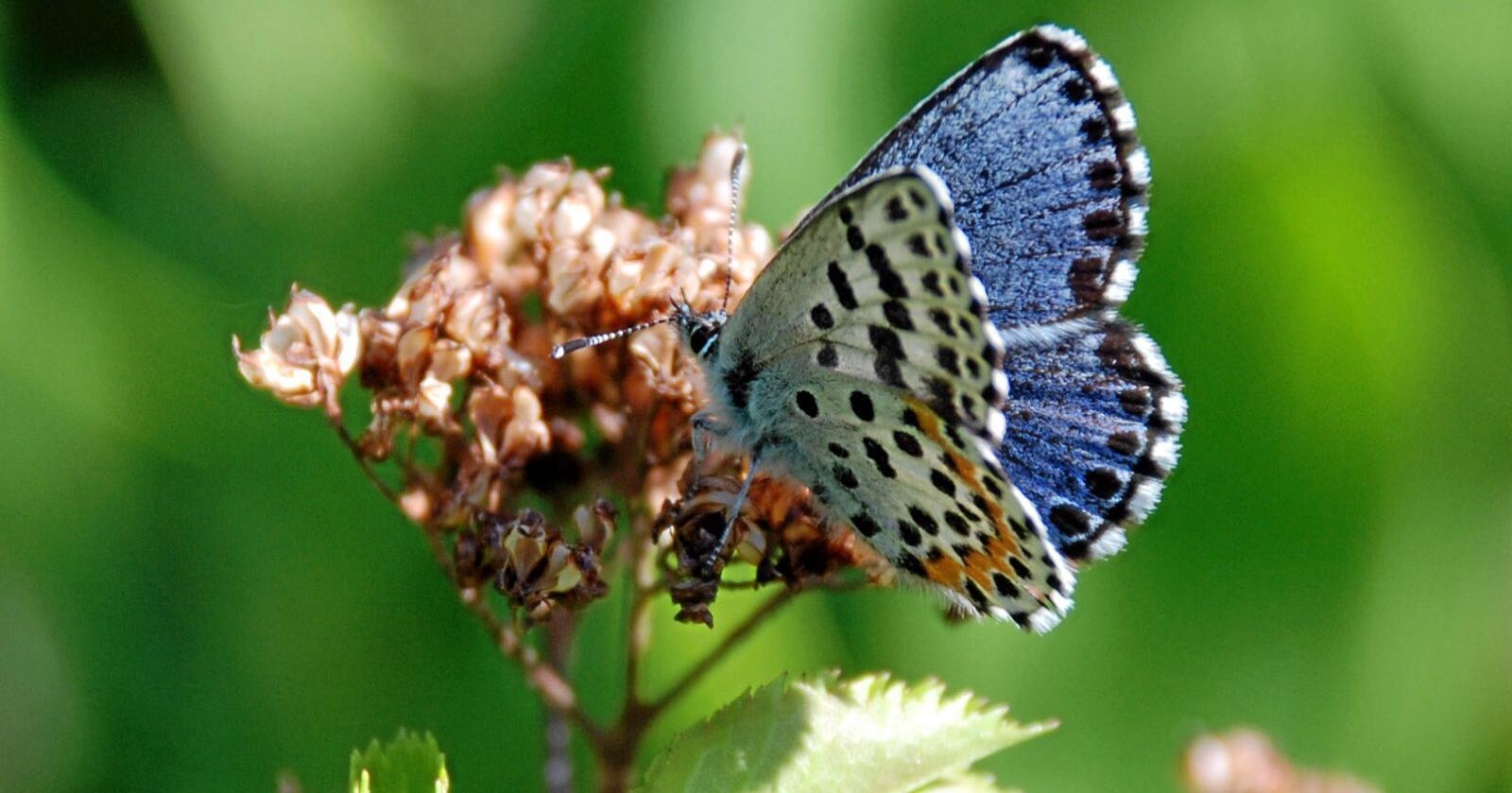 Tjenester: I Norge er mange av insektartene også i sterk tilbakegang, og med dem mange av tjenestene vi tar for gitt. Foto: Christian Steel / Sabima