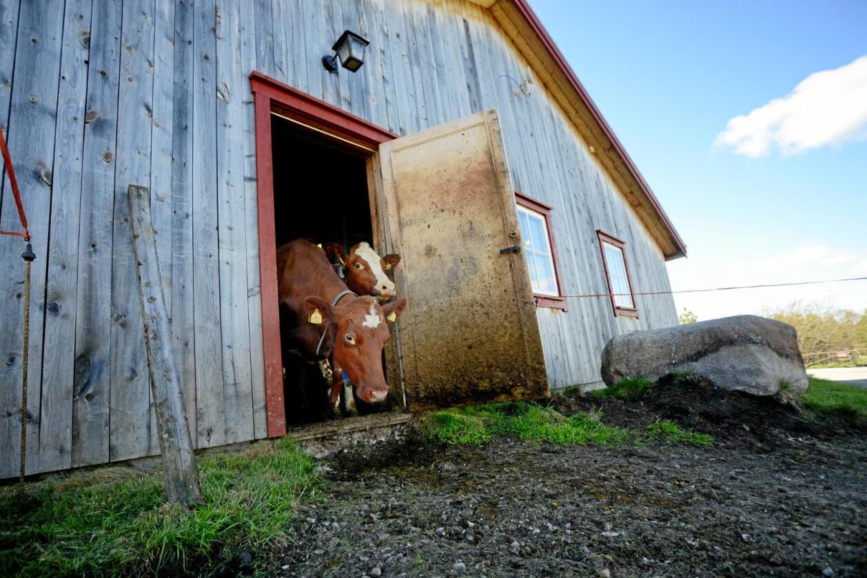 Dyrevelferd: Alle bønder jeg kjenner er glad i dyr, og følelsesmessig engasjert i dem, skriver kronikkforfatteren.Foto: Siri Juell Rasmussen