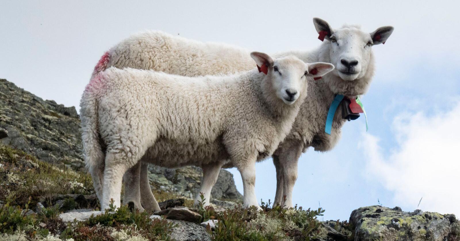 Søye og lam på fjellbeite i Gudbrandsdalen. Foto: Paul Kleiven / NTB