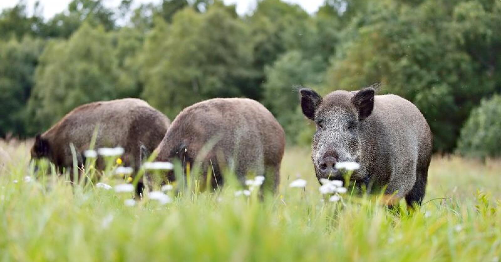 Hvis bestanden av villsvin får øke vil effektene på naturen bli store. Foto: Erik Mandre / Mostphotos