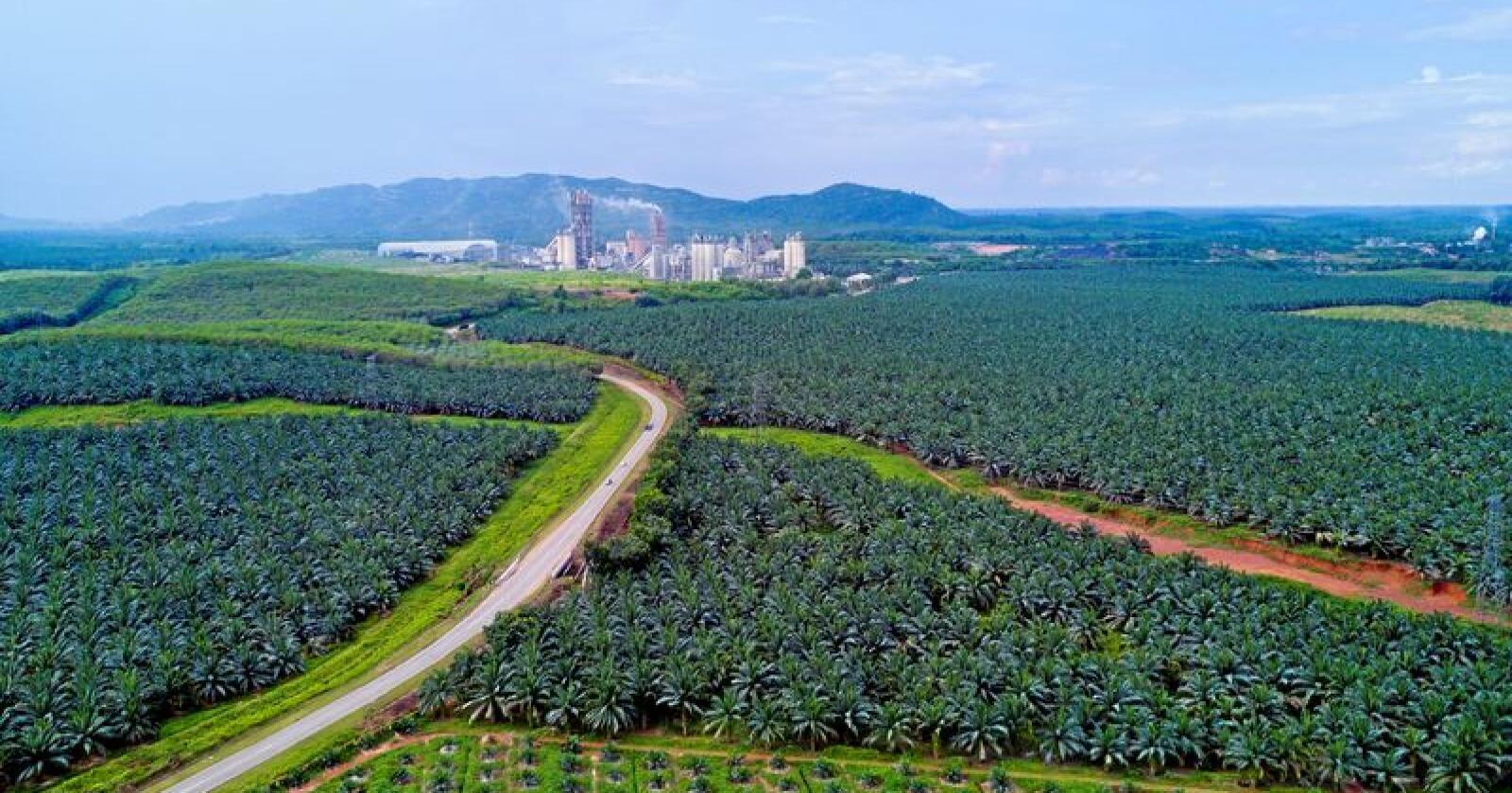 Indonesia og Malaysia produserer mesteparten av palmeolja i verda, i store plantasjar som på biletet. Foto: Nelza Jamal / Mostphotos