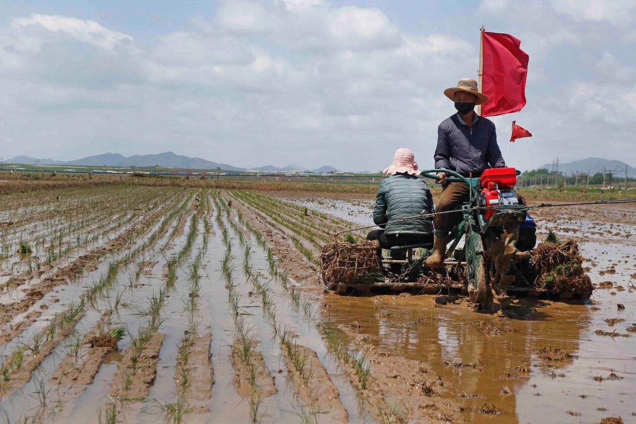Tørke har ødelagt mange av risavlingene som ble plantet i Nord-Korea i mai (bildet), som her i Rangnang-distriktet. Foto: AP/NTB