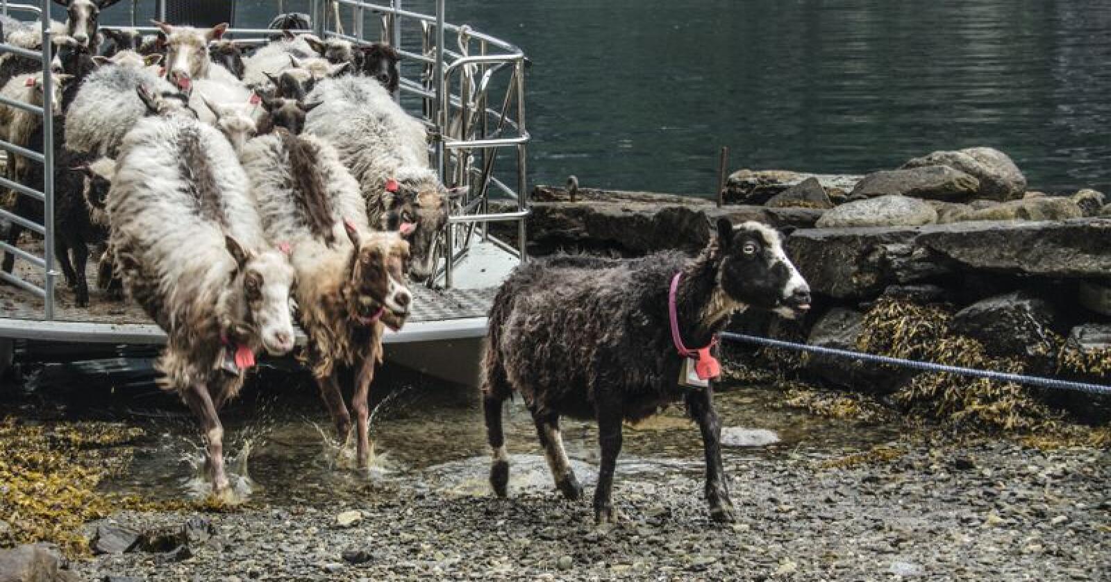 Her er sauene frå Sjøtunet på veg til fjells. Dei blir frakta med båt inn Fyksesundet til Botnen. Foto: Geir Ellingsrud